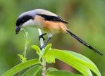 Mengetahui Penyebab Burung Cendet Nyepah Jangkrik Utuh