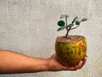 Manfaat Cocopeat Sebagai Media Tanam