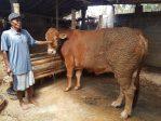 Tips dan Cara Ternak Sapi: Teknik dan Macam Jenisnya