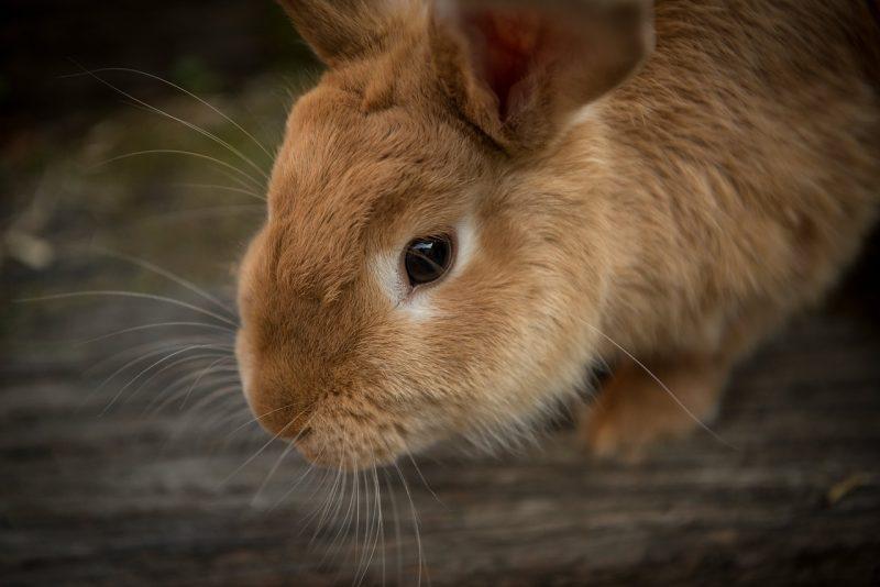 cara beternak kelinci lokal